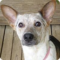 Adopt A Pet :: CLEMENTINE - Cranford, NJ
