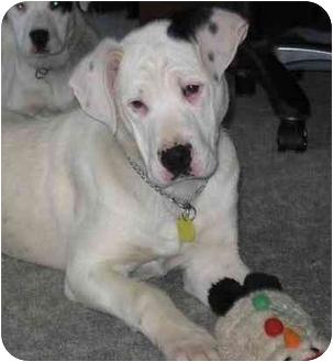 American Bulldog Puppy for adoption in Chandler, Indiana - Brando