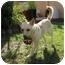 Photo 2 - Chihuahua/Shiba Inu Mix Dog for adoption in Marysville, California - Twinkie