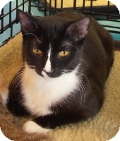 Domestic Shorthair Cat for adoption in Horsham, Pennsylvania - Meadow