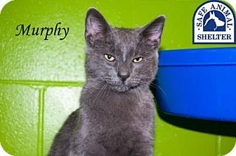 Domestic Shorthair Cat for adoption in Middleburg, Florida - Murphy