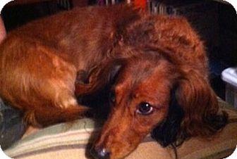Dachshund Dog for adoption in Jacobus, Pennsylvania - Brutus