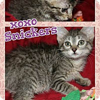 Adopt A Pet :: Snickers - Wichita, KS