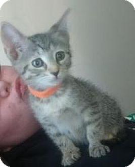 Domestic Shorthair Kitten for adoption in Raritan, New Jersey - Vessa