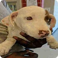 Adopt A Pet :: TICKLES - Plano, TX