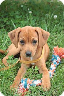 Beagle Mix Puppy for adoption in Stilwell, Oklahoma - Tye