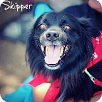Adopt A Pet :: Skipper - Justin, TX