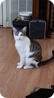 Domestic Shorthair Cat for adoption in Homewood, Alabama - Avon