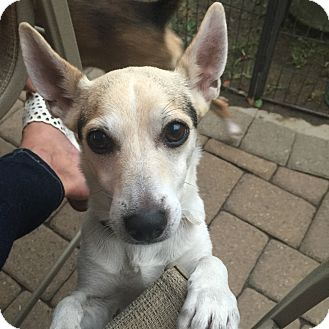 Rat Terrier/Australian Cattle Dog Mix Dog for adoption in Saddle Brook, New Jersey - PEPE
