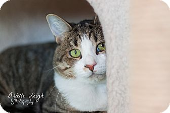 Domestic Shorthair Cat for adoption in Brimfield, Massachusetts - Hartford