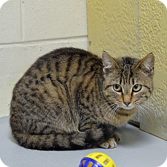 Domestic Shorthair Cat for adoption in Brooksville, Florida - 10310063