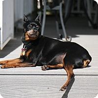 Adopt A Pet :: Billie Girl - Oceanside, CA