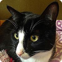 Adopt A Pet :: Socks - Port Angeles, WA
