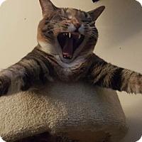 Adopt A Pet :: Cali (Declawed) - Reston, VA