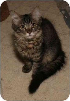 Domestic Longhair Kitten for adoption in Cincinnati, Ohio - Beck