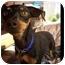 Photo 3 - Miniature Pinscher Dog for adoption in Phoenix, Arizona - Fallon