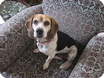 Beagle Dog for adoption in Houston, Texas - Jamie