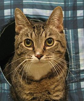 Domestic Shorthair Cat for adoption in Lago Vista, Texas - Jill