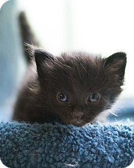 Domestic Shorthair Kitten for adoption in Houston, Texas - Olive