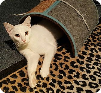 Domestic Shorthair Cat for adoption in Los Angeles, California - Bernie (bonded to Herman)