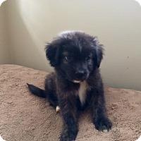 Adopt A Pet :: Dixon - Bernardston, MA