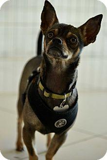Chihuahua Dog for adoption in Culver City, California - Otis