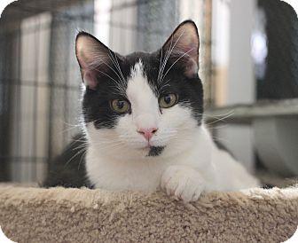 Domestic Shorthair Kitten for adoption in Carlisle, Pennsylvania - Finnegan