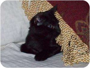 Domestic Shorthair Cat for adoption in Medford, New Jersey - Mimosa