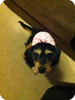 Dachshund Dog for adoption in Denver, Colorado - Sandy