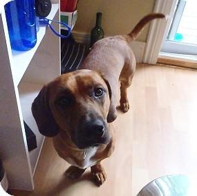 Rhodesian Ridgeback/Basset Hound Mix Dog for adoption in Hamilton, Ontario - Chubbs
