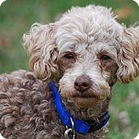 Adopt A Pet :: Lacy - Providence, RI