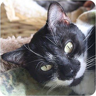 Domestic Shorthair Cat for adoption in Huntley, Illinois - Miley