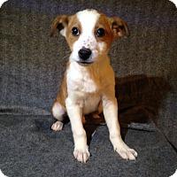 Adopt A Pet :: Rum - Toledo, OH