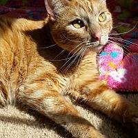 Domestic Shorthair Cat for adoption in Wichita Falls, Texas - Butterscotch