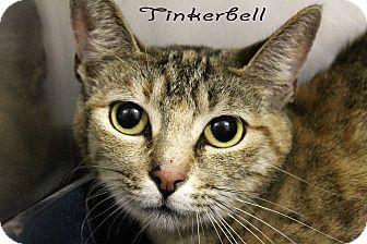 Domestic Shorthair Cat for adoption in Texarkana, Arkansas - Tinkerbell