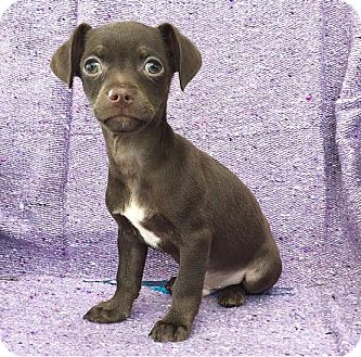 Spaniel (Unknown Type)/Miniature Pinscher Mix Puppy for adoption in santa monica, California - Taco