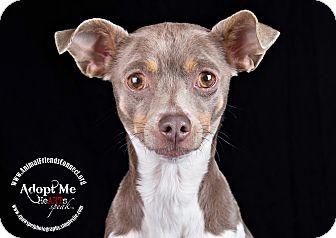 Rat Terrier Mix Dog for adoption in Lodi, California - Rosa-Lee