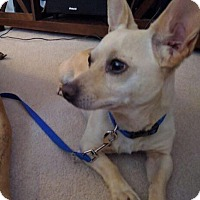 Chihuahua Mix Dog for adoption in Milwaukee, Wisconsin - Roo