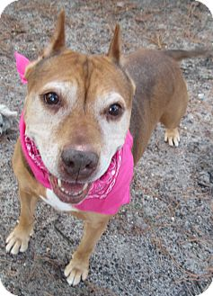 American Pit Bull Terrier/Hound (Unknown Type) Mix Dog for adoption in Forked River, New Jersey - Estes
