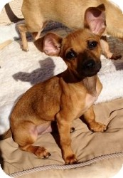 Chihuahua Mix Puppy for adoption in Mesa, Arizona - Shaq
