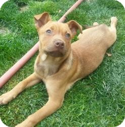 Shepherd (Unknown Type) Mix Puppy for adoption in Marlton, New Jersey - baby Zoe