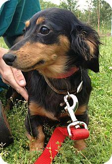 Dachshund Mix Dog for adoption in Waldorf, Maryland - Abbie #443