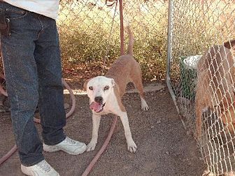 American Staffordshire Terrier Dog for adoption in Golden Valley, Arizona - Dakkar