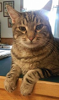Domestic Shorthair Cat for adoption in Saranac Lake, New York - J.D.