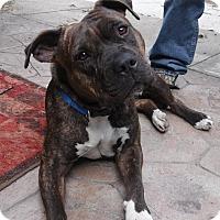 Adopt A Pet :: Brindy - Sacramento, CA