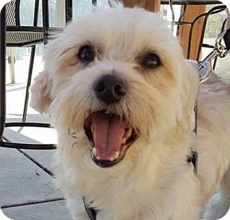 Maltese/Terrier (Unknown Type, Small) Mix Dog for adoption in Pasadena, California - Charlie