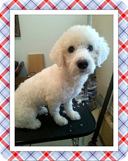 Bichon Frise Dog for adoption in Tulsa, Oklahoma - Adopted!!Frodo - S. TX