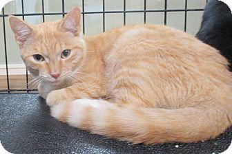Domestic Shorthair Kitten for adoption in Reeds Spring, Missouri - Shanyu