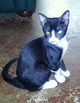 American Shorthair Kitten for adoption in Houston, Texas - Curly