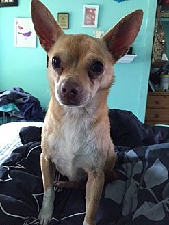 Chihuahua Dog for adoption in Willingboro, New Jersey - Monty
